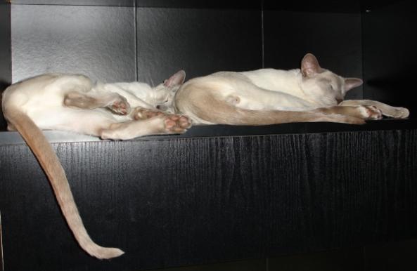 SiameseSleeping