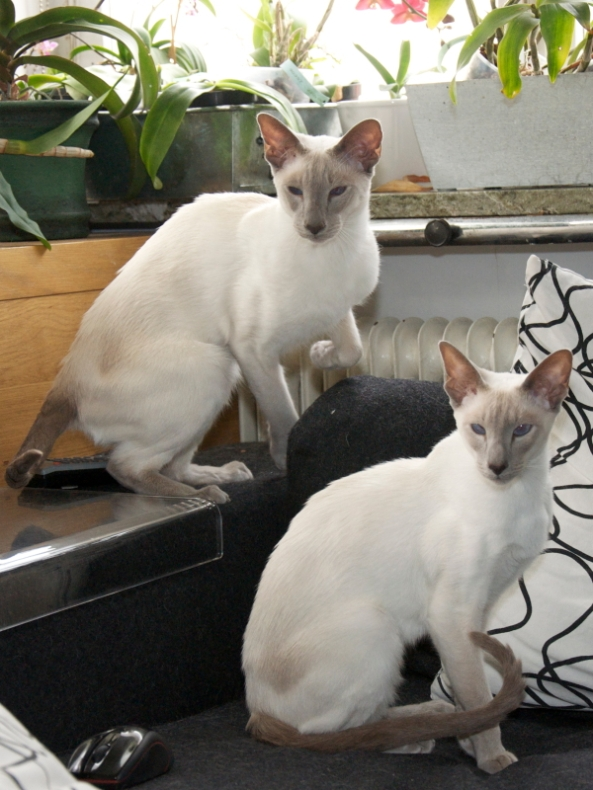 LilacPointSiameseCats