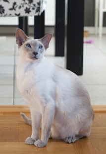 Leroy, The King (Lilac point Siamese)